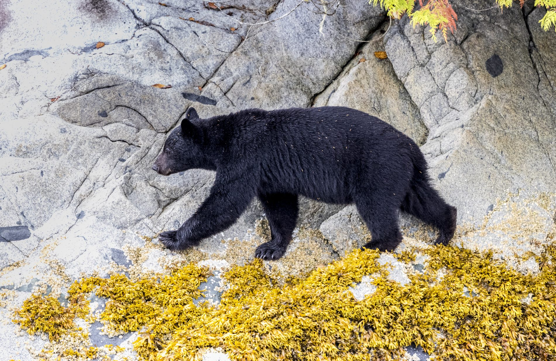 Grizzly and Black Bears in British Columbia